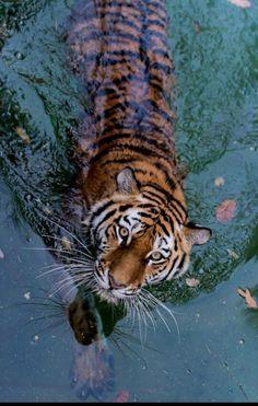 animals eyes water nature wildlife tiger tigers tiger in water Tier Wallpaper, Animal Wallpaper, Animals And Pets, Baby Animals, Cute Animals, Beautiful Creatures, Animals Beautiful, Beautiful Cats Pics, Animals Amazing