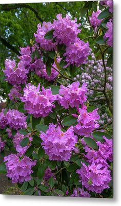 In Rhododendron Woods 32 Metal Print by Jenny Rainbow. All metal prints are professionally printed, packaged, and shipped within 3 - 4 business days and delivered ready-to-hang on your wall. Choose from multiple sizes and mounting options. All Flowers, Beautiful Flowers, Got Print, Any Images, Fine Art Photography, Home Art, Fine Art America, Woods, Framed Prints