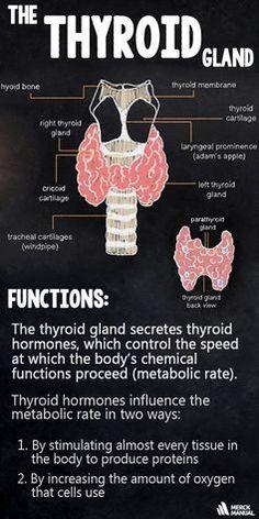 Knowledge Refresher: Hyperthyroidism represents an overactive thyroid gland a. Thyroid Diet, Thyroid Issues, Thyroid Gland, Thyroid Cancer, Thyroid Hormone, Thyroid Problems, Thyroid Health, Thyroid Levels, Thyroid Symptoms