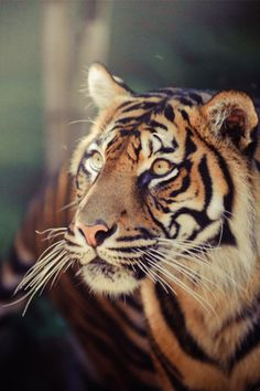 We will only have these beautiful Tigers in zoo's, how sad is that? The world is killing our beautiful creatures.