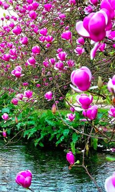 Garden landscape - Chinese magnolia at the Garden of Ninfa in Cisterna di Latina, central Italy Exotic Plants, Exotic Flowers, Amazing Flowers, Beautiful Flowers, Beautiful Places, Beautiful Landscapes, Beautiful Gardens, Magnolia Soulangeana, Flora