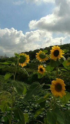 가을을 알리는 듯 수줍은 해바라기꽃들이 모여 방긋 미소를 머금고있네요. 하늘과 조화로움이 경이롭네요.