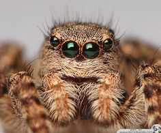 me no likey scary spider face :( Jumping Spider Lucas The Spider, Spider Face, Orchid Tattoo, Jumping Spider, A Bug's Life, Portraits, Kawaii, Little Monsters, Nature Animals