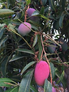 Buenos días! Para comenzar agosto, una adivinanza: ¿qué mango es el que está en su punto para ser recolectado?