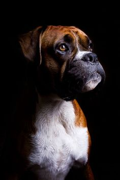 Mmm... Shortbread | Boxer Puppy | by Danny Beattie