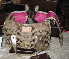 """a """"Coach"""" dog carrier.Well my Princess girl won't fit in this, so maybe my kitty Marbie baby can! Dog Bag, Chihuahua Love, Dog Travel, Dog Carrier, Coach Purses, Coach Handbags, Coach Bags, Pet Carriers, Dog Accessories"""