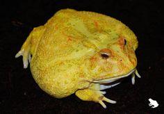 Albino Patternless Pacman Frog