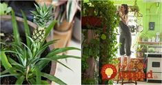 Budú kvitnúť ako na baterky: Najsilnejšia živina pre kvitnutie zaručí, že taký kaktus bude obsypaný aj dlho po sviatkoch! Vase, Gardening, Plant, Creative, Cactus, Balcony, Garten, Flower Vases, Jars