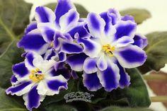 African violet RS Novyi Favorit  New Ukrainian Variety!