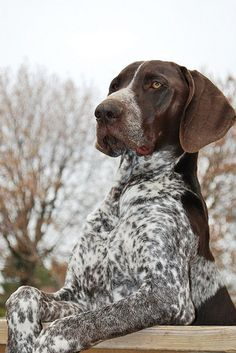 The many things we admire about the German Shorthaired Pointer Puppies Gsp Puppies, Pointer Puppies, Pointer Dog, Amor Animal, German Shorthaired Pointer, German Shepherd Dogs, German Shepherds, Working Dogs, Doberman