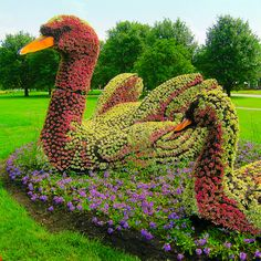 Swans .. living plant sculptures at the montreal botanical gardens