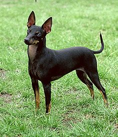 Manchester Terrier / English Toy Terrier / Black and Tan Black Dogs Breeds, Toy Dog Breeds, Small Dog Breeds, Small Breed, American Pit Bull Terrier, English Toy Terrier, Toy Manchester Terrier, Terrier Breeds, Rat Terriers