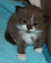 Natural Mink and White. Adorable kitten which has gone to his new home. Ragamuffin Kittens, Mink, Adoption, Cats, Natural, Animals, Foster Care Adoption, Gatos, Animales
