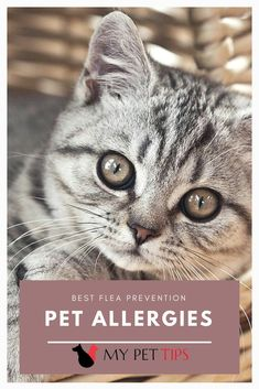 If your feline has been developing small bumps on its neck and back, excessively grooming or scratching itself and maybe also experiencing other symptoms like hair loss, it could be a victim of a flea infestation. Animal Reiki, Pet Allergies, Flea Treatment, Pet Tips, Fleas, Hair Loss, Cats, Animals, Gatos