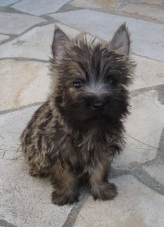 This is Carlos (Cairn Terrier). Learnt today he has bad kidneys and may not last long. Cairn Terrier Puppies, Terrier Breeds, Norwich Terrier Puppy, Yorkies, Cute Puppies, Dogs And Puppies, Cairns, Small Dog Breeds, Small Dogs