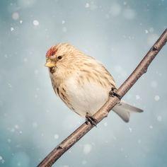 "Fine Art Bird Photography Print """"Redpoll in Snow No. 9"""""