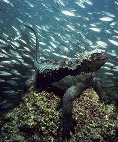 Marine Iguana Galápagos Islands