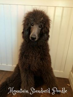 Red Buddy, now Max, has found his forever home! He is the sweetest standard poodle puppy.