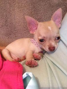 My baby girl❤️ Beautiful tiny chihuahua puppy Teacup Chihuahua Puppies, Cute Chihuahua, Puppies And Kitties, Cute Puppies, Cute Dogs, Chihuahuas, Doggies, Beautiful Dogs, Animals Beautiful