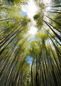 Bambous géants d'Arashiyama et le ciel