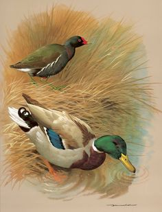 Moor hen and Mallard duck.A painting by Basil Ede.Basil Ede (born 1931 in England) is a British wildlife artist specialising in avian portraiture