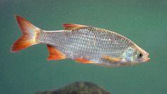 Scardinius erythrophthalmus - Common Rudd, Eurasia
