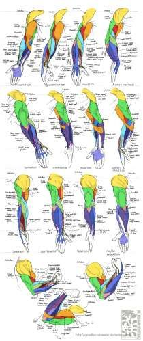 Anatomy - Human Arm Muscles by Canadian-Rainwater on deviantART