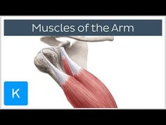 Arm muscles - Origin, Insertion & Innervation - Human Anatomy | Kenhub - YouTube