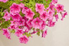 Fiori in vaso di petunia
