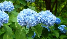 hydrangea planting Hydrangea Care: How to Plant, Grow & Care for Hydrangeas Hydrangea Potted, Hydrangea Varieties, Hydrangea Bloom, Hydrangea Care, Hydrangea Not Blooming, Hydrangea Flower, Blue Flowers, Most Beautiful Flowers, Beautiful Gardens