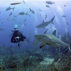 Roatan - Caribbean, diving with sharks