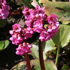 Les plantes bergenias de couleurs rouge pourpre.