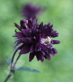 [aquilegia 'Barlow Black', available from Crocus]