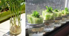 13 alimentos que crescem na água! Vais certamente querer testar! Como não custa tentar, um recipiente transparente, água e sol, esta é uma boa experiência para fazer em casa. E se conseguires, podes mais tarde plantá-los no jardim! As crianças podem