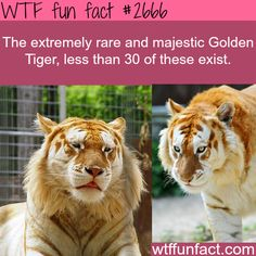 The Golden Tiger, extremely rare animals - WTF fun facts What a beautiful animal!!