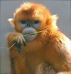 ~~ Golden Snub-nosed Monkey ~~