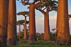 (c) Edition Lammerhuber (Pascal Maitre)  Baobab-Allee near Morondava