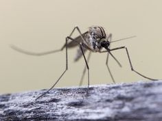 7 reasons mosquitoes bite some people more than others