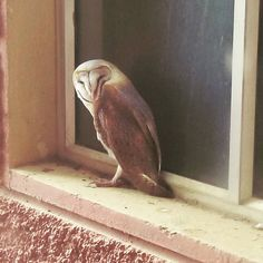 Found this beautiful bird sitting at the ledge of window. On the 9th floor. It turned his neck just to give me this pose!  As soon as I clicked it went back to staring into nothingness. On a lighter note... Mr. Potter are you missing an owl by any chance?