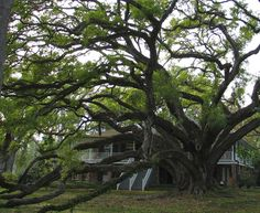 Seven Sisters Oak, Mandeville, LA   (largest certified oak tree)
