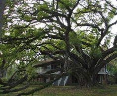 Seven Sisters Oak, Mandeville, LA - the largest live oak tree in USA