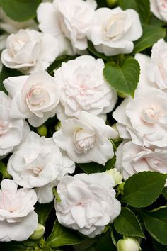 How For Making Your Landscape Search Excellent Rocapulco White Double Impatiens By Proven Winners - Plant Pairing By Rochelle Greayer Gardenias, Landscaping Tips, Garden Landscaping, Shade Garden, Garden Plants, Potager Garden, Double Impatiens, White Flowers, Beautiful Flowers