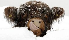 Just a Baby Highland Cow in the Snow - Tiere - Baby Ideas Baby Highland Cow, Scottish Highland Cow, Highland Cattle, Scottish Highlands, Farm Animals, Animals And Pets, Funny Animals, Cute Animals, Animals In Snow