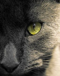 Beautiful Green Eye(s) with a beautiful, strong nose. Russian Blue Cat. #Powerful #Magical