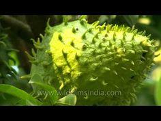 De ce NI SE ASCUNDE ASTA ? Fructul care tratează cancerul. Este mai puternic de 1000 de ori decât chimioterpia |