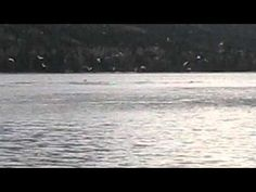 Humpback whales close to shore in Baie Verte, Newfoundland