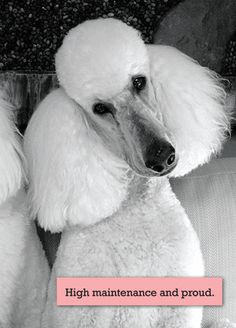 Giant poodle quotes