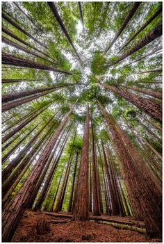 Sequoia Forest #Cantabria #Spain