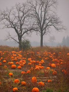 Awesome photo from a pumpkin patch on a foggy evening.