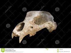 Ursus espelaeus cranium
